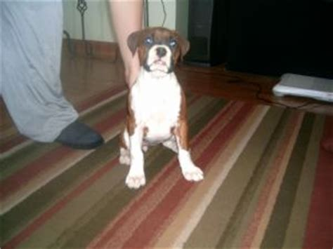 boxer puppies for sale mn boxer puppies in minnesota