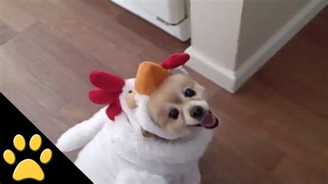 chicken puppies in ambulance costume howling beds and costumes