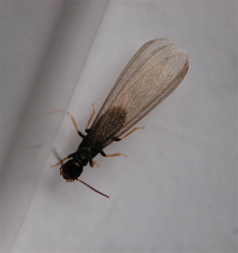 bathroom bugs with wings a reproductive termite april 2009 in the spring the