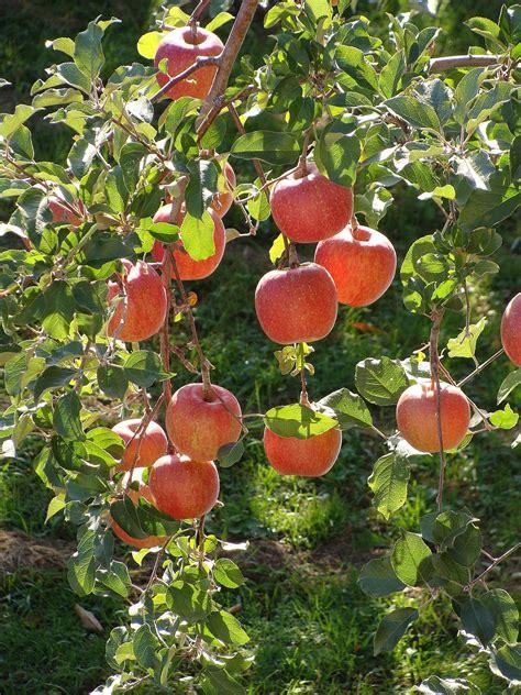 apple wikipedia fuji apple wikipedia