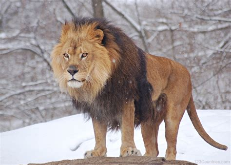 the lion and the national animal of belgium lion 123countries com