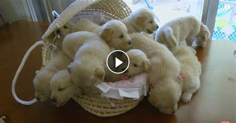 how many puppies can a the time lovable dogs so many golden retriever puppies compilation puppy