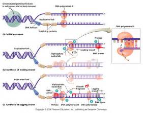Dna Replica Dna Replication Mcat