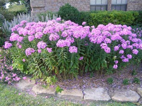 Tall Phlox Flowers - green girly zone 3 flowers tall phlox garden pinterest
