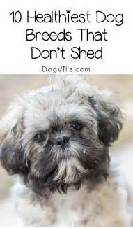 mini breeds that dont shed www imgkid the