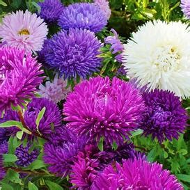 Bunga Bunga Aster Ostrich Feather china aster seeds quot ostrich feather mix quot