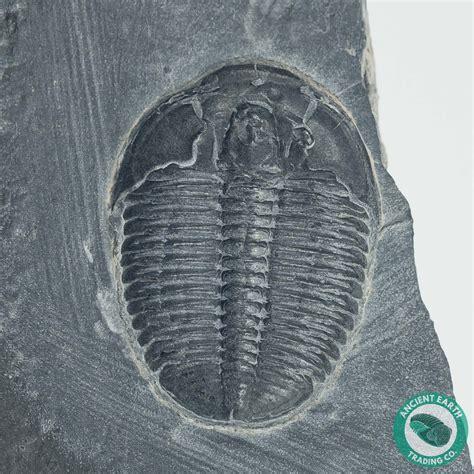 elrathia trilobite fossil utah trilobites