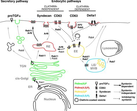 protein trafficking the ins and outs of syntenin a multifunctional