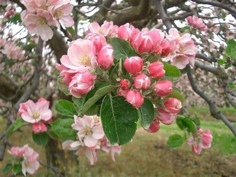 zucchero fiori di melo fiori di melo fiori di piante