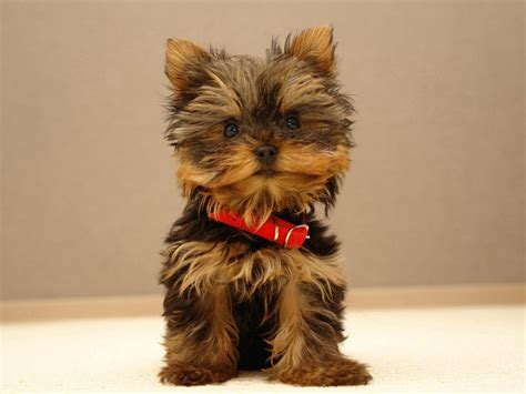 Yorkie Shedding by Top 10 Breeds With To No Shedding
