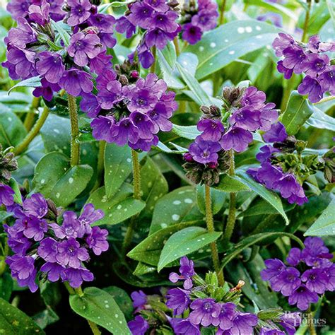 deer resistant shade plants