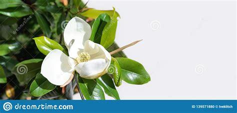 beautiful magnolia flower bud   tree  green leaves