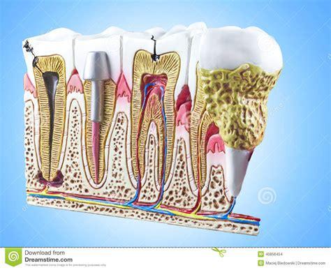 dental section teeth dental section model stock illustration image