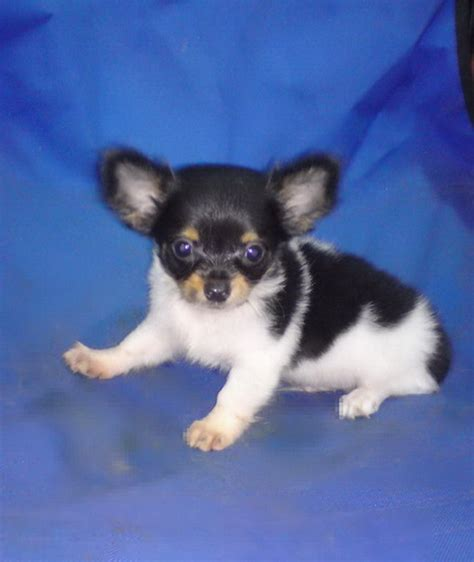 local puppy breeders malaysia and puppy portal commercial puppies for sale local chihuahua