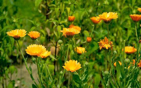 Oma S Garten Pflanzen by Ringelblume Saatgut Orange Ringelblume