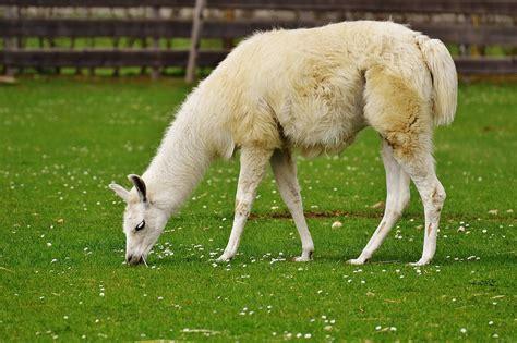 Free photo: Lama, White, Animal, Cute   Free Image on Pixabay   1331361