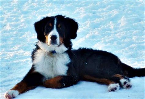 bernese mountain puppies michigan seeker has come into foster of michigan bernese mountain rescue