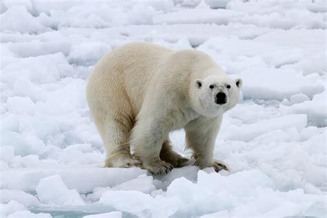 polar bear polar bear polar bear images reverse search