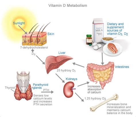 Vitamin Metabolisme vitamin d synthesis in the vitamin d learn about