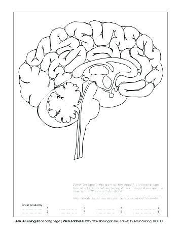 brain coloring page pdf brain coloring sendflare co