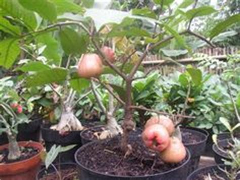 Bibit Blueberry Jakarta 1000 images about bonsai fruit on bonsai