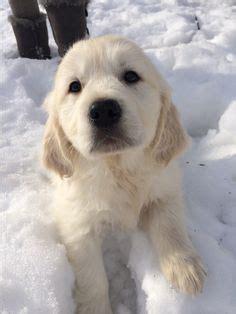 golden retriever puppies bend oregon 1000 ideas about golden retrievers on retriever puppies golden