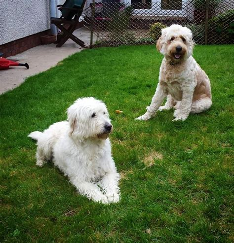 labradoodle puppies for sale beautiful labradoodle f2 puppies for sale coleraine