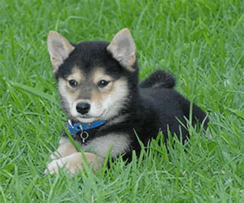 shiba inu puppies for sale shiba inu puppies shiba inu puppy shiba inus for sale shiba inu breeds picture