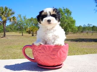 yorkie puppies st petersburg fl puppies for sale in florida buy teacup small breeds puppies in fl