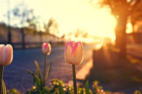 in the morning tulips in the morning light by jackietran on deviantart