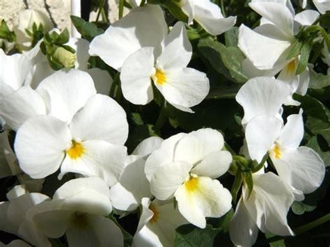 fiori di pensiero viola pensiero piante annuali