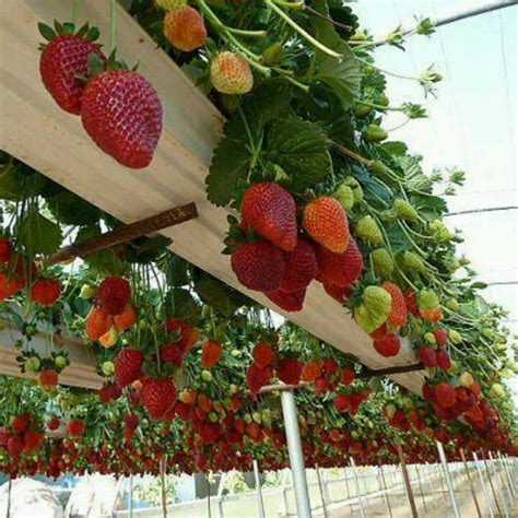 Strawberry Hanging Planter by Hanging Strawberry Plants Gardening