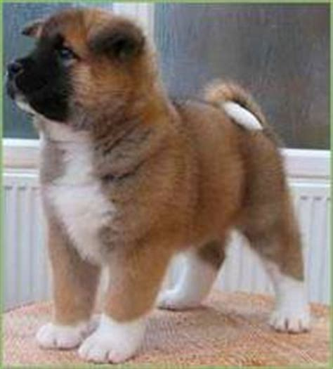 husky yorkie siberian husky bulldog akita yorkie and many other puppies for sale products