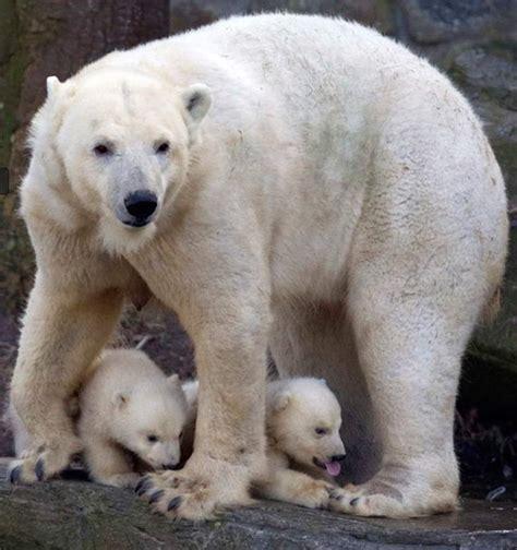 Two Polar Bears In A Bathtub by Wordlesstech Two Newborn Polar Cubs