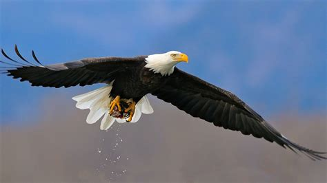 hd eagle eagle hd wallpapers 1080p hd eagle desktop photos