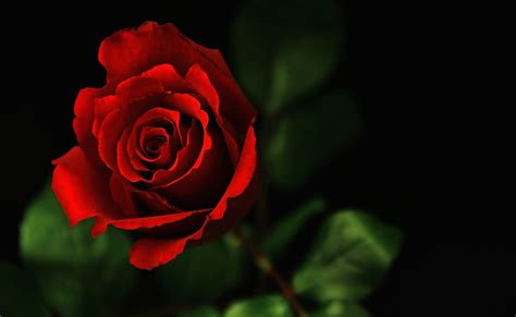 koleksi foto gambar bunga mawar terindah auto design tech