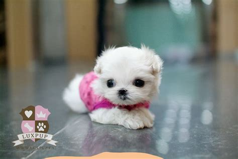 Cute Baby Maltese Puppies   www.pixshark.com   Images