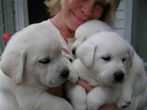 white lab puppies lab on labrador labs and
