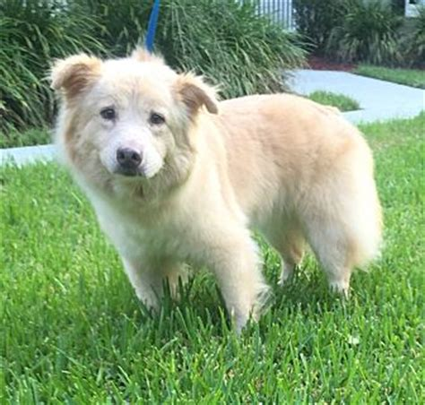 golden retriever american eskimo mix summerville sc american eskimo golden retriever mix