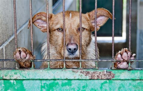 is premier pups a puppy mill end puppy mills by demanding pet shops only sell rescue animals forcechange