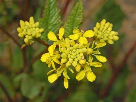 pianta dai fiori gialli una pianta dai fiori gialli sinapis arvensis forum