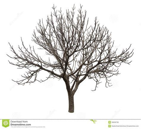 Bare Tree Isolated White Stock Photo Image Of