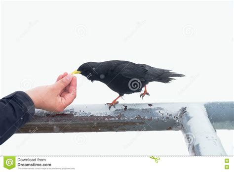 black bird taking food feeding from hand hungry crow