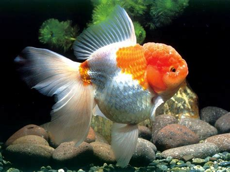 goldfish hd wallpaper gold fish wallpapers wallpaper cave