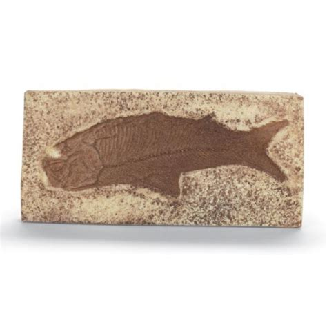 Fossil Replika Multired Shopper fossil fish plaque replica fossil plaque