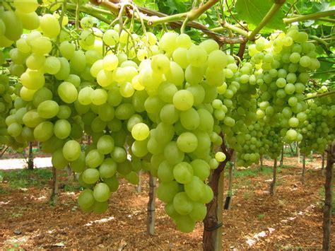 uva da tavola uva da tavola giuliano quot al settore serve uno come