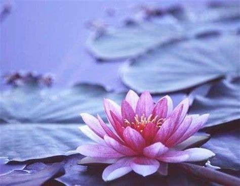 fiore di ninfea significato significato ninfea foto pourfemme
