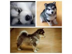 how much are pomeranian huskies pomeranian husky picture collection and ideas dogs breed