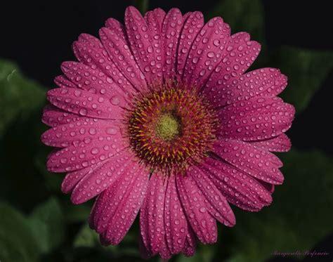 imagenes de flores margaritas share