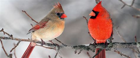wild about birds backyard birds northern cardinal